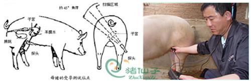 猪仙子兽用B超机丨猪用B超仪丨动物B超机丨动物妊娠诊断仪丨B超使用法