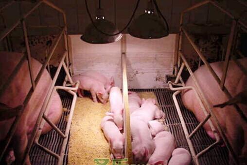 2016养猪繁殖技术国际研讨会于1月8-9日在厦门召开,猪仙子受邀参加。随着我国养猪业的高速发展,养殖模式已经逐步转变为专业化、集约化、高密度饲养。科学养猪的重要性日益受到重视,而养猪繁殖效率的高低则是决定养猪成本的主要环节。猪人工授精技术是以种猪的培育和商品猪的生产为目的而采用的最简单有效的方法,是进行科学养猪、实现养猪生产现代化的重要手段。对于促进养猪业向高产、优质、持续的方向转化,提高育肥猪生产性能和肉品品质,增加市场竞争力,提高经济效益,最终促进养猪业整体跨越式发展影响巨大。